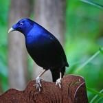 satin-bowerbird-61193_640